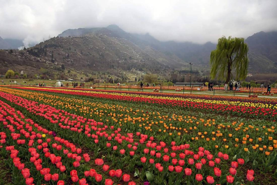 Tulip Garden to be thrown open on March 25. Whats New.....?
